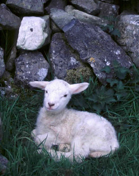 Young Irish Lamb - Free image #296591