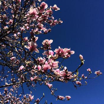 Magnolia - Free image #296841
