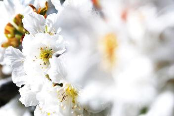 Cerezo en Flor - Free image #296961