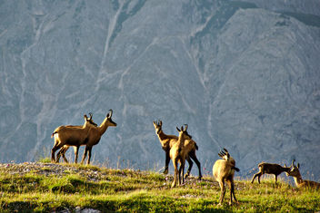 A herd of chamois - Free image #297151