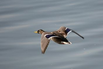 Duck flying over the pond - бесплатный image #297561