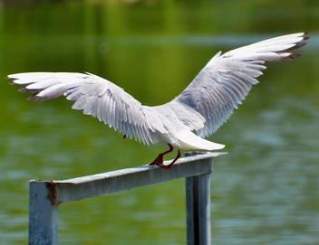 seagull landing - Free image #297581