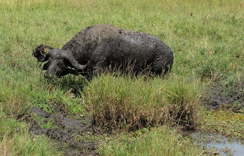 Kenya (Masai Mara) Buffalo mud bathing to protect himself from heat and parasites - image gratuit #298171