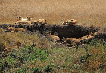 Tanzania (Ngorongoro) Sleeping lions after meal - image gratuit(e) #298251