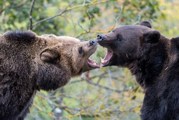 Bears - image gratuit #298341