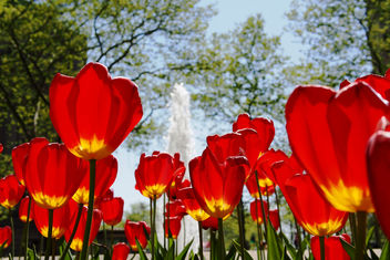 Bowling Green Tulips - Free image #298521