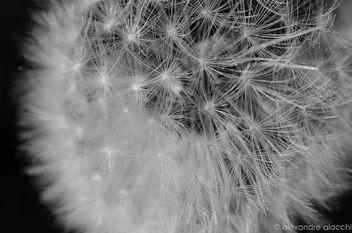 Fleur de Pissenlit - Free image #298651