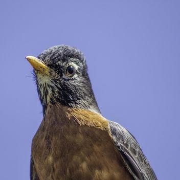 Robin - бесплатный image #298681