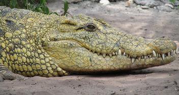 Crocodile - Free image #298701