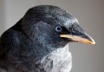 Portrait of a young western jackdaw (Corvus monedula) - image gratuit #298921