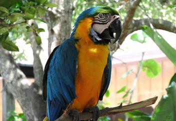 Blue and Yellow Macaw - Free image #299151
