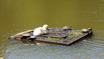 Turkey (Istanbul arboretum)- Duck and water turtles, taking a sunbath on the raft - image gratuit(e) #299431