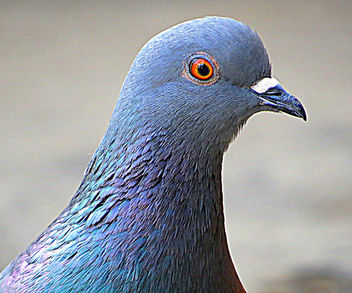 Pigeon face - Free image #299601
