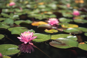 Vermont Lily Pond - Free image #299631