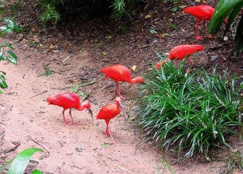 Brazil (Iguacu Birds Park) Scarlet Ibis - image #300081 gratis