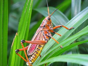 Grasshopper - image gratuit #300361