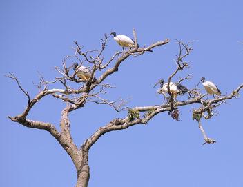 Kenya (Masai Mara) African Ibis Birds - image gratuit #300511
