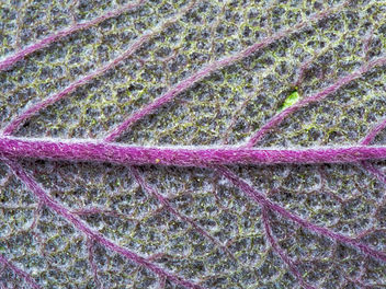 Purple sage - Kostenloses image #300581