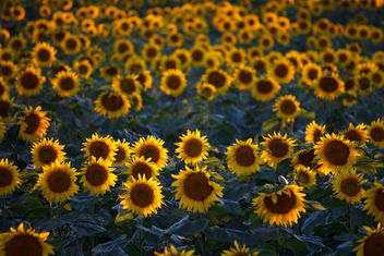 Sunflowers at sunset - бесплатный image #300591