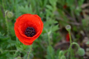 poppy - image gratuit(e) #300741