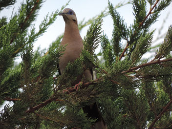 White-winged Dove on a tree - image #301141 gratis