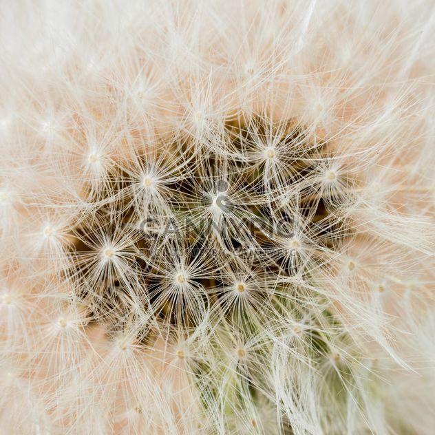 Pissenlit fleur - image gratuit #301381
