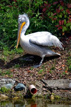 American pelican rests - Free image #301621