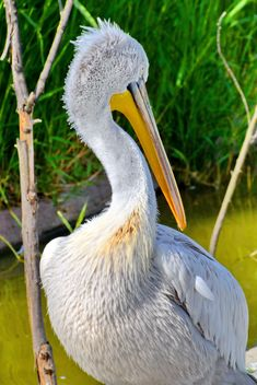 American pelican portrait - image #301631 gratis