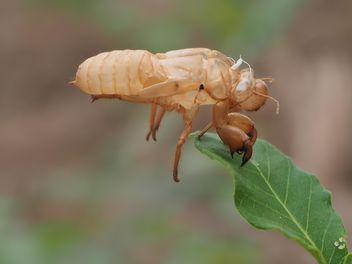 Cicada moulting in the garden - бесплатный image #301731