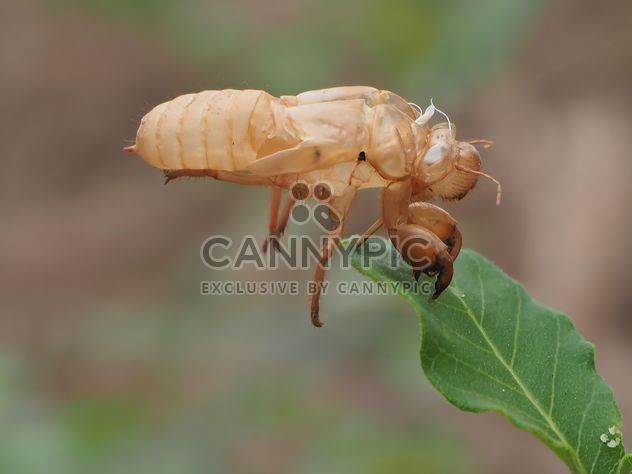 Cicada moulting in the garden - image gratuit #301731