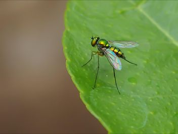 Green fly on a leaf - image gratuit #301741