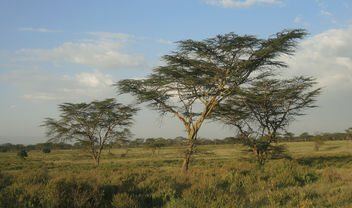 Kenya (Nakuru National Park) Unique Acacia trees at Savannah - Kostenloses image #302751