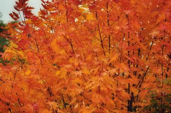 Golden maple - image #303811 gratis