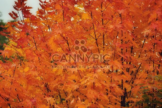 Golden maple - Free image #303811