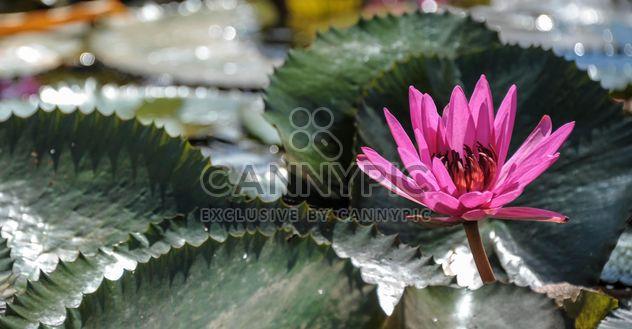 Водяные лилии на пруду - бесплатный image #304471