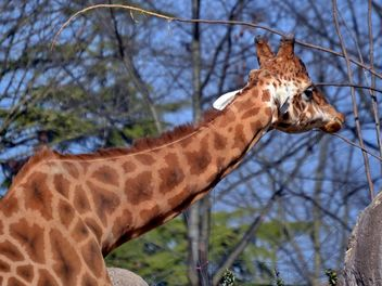 giraffe in park - image #304511 gratis