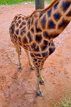 Giraffe in park - Free image #304521