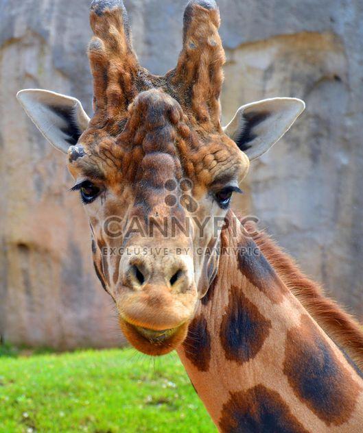 Retrato de girafa - Free image #304531