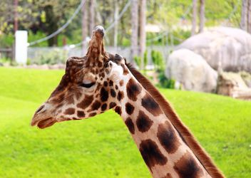 Giraffe portrait - Free image #304541