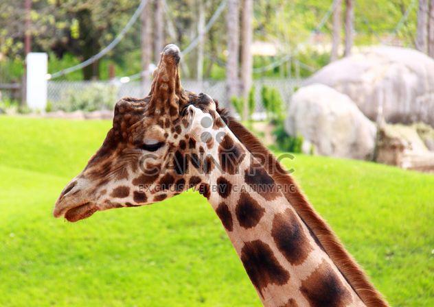 Портрет Жираф - бесплатный image #304541