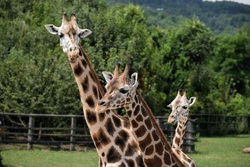 Giraffes in park - image #304551 gratis