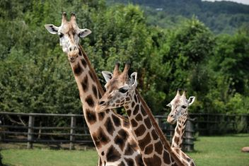 Giraffes in park - Free image #304551