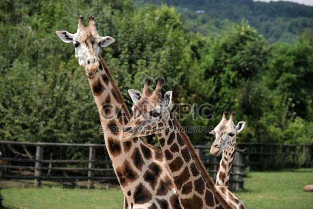 girafes au parc - image gratuit #304551