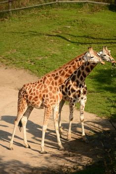 Giraffes in park - Free image #304561