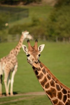 Giraffes in park - Free image #304571
