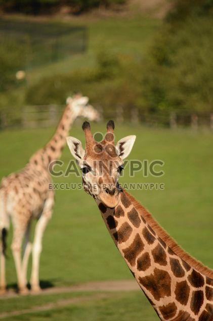 Жирафы в парке - бесплатный image #304571