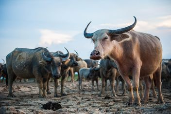 Herd of buffaloes - image #304751 gratis