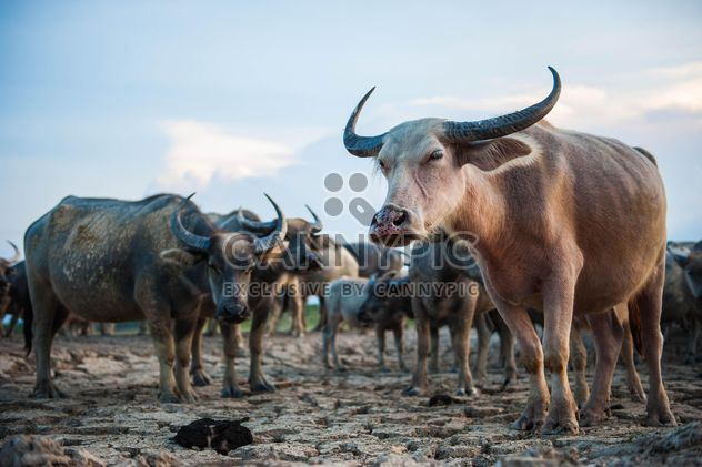 Herd of buffaloes - Free image #304751