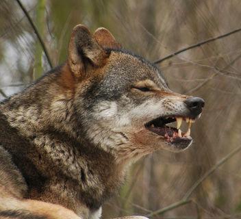 Grey Wolf - image #305991 gratis