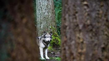 Wolf - Free image #306081